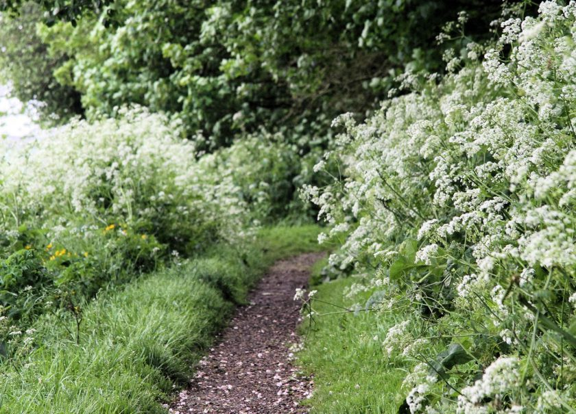 Cow Parsley lines the path along the edge of Dents Garth, Roos