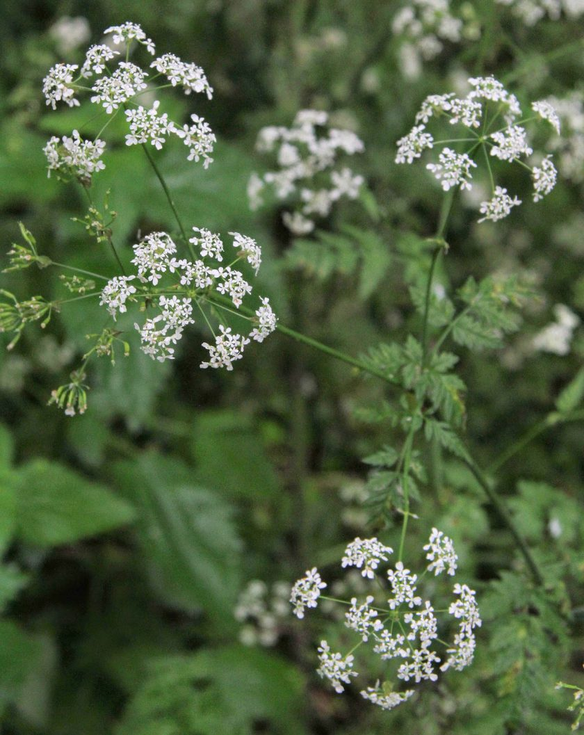 Delicate Flowers of Queen Anne's Lace or Cow Parsley (Anthricus sylvestris)