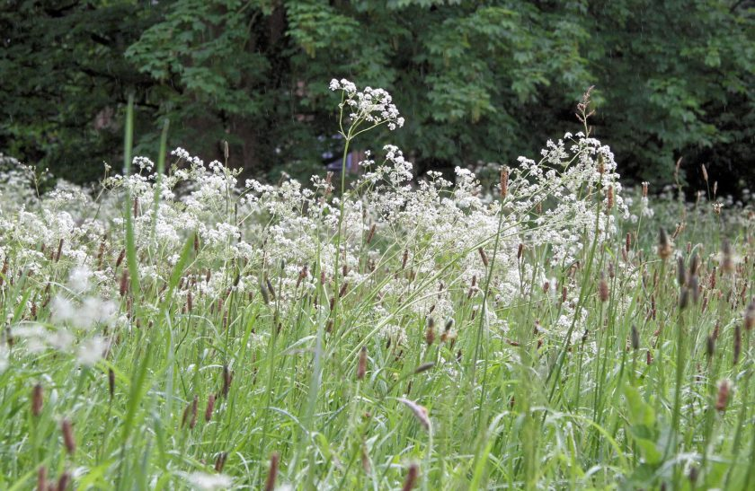 Cow Parsley in Roos Churchyard, May 2014