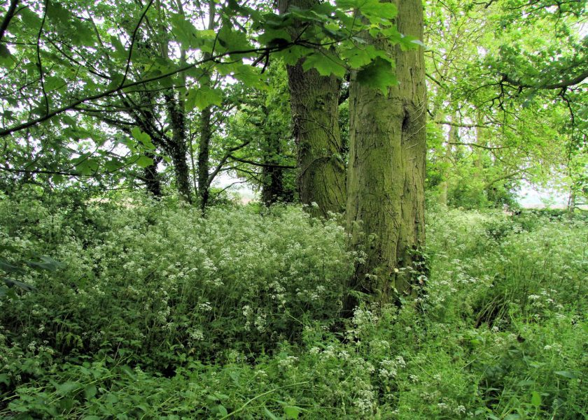 Cow Parsley Under Sycamores at Dents Garth, Roos