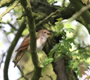 Singing Nightingale in Lincolnshire (c) 2014 Michael Flowers