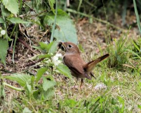 Nightingale collecting food for chicks – with tail cocked (c) 2009 Michael Flowers